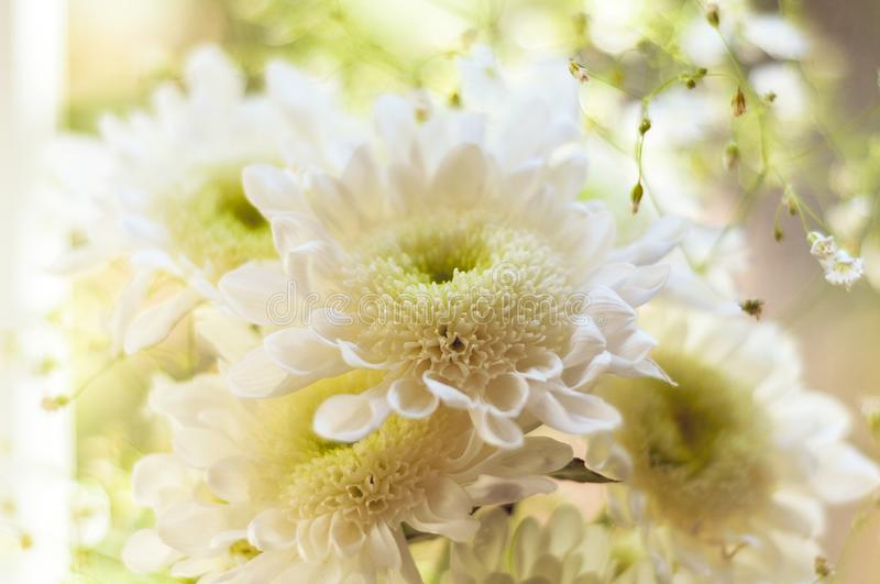 Bouquet of delicate beautiful flowers of white chrysanthemums close up royalty free stock photo