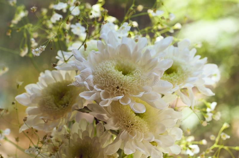 Bouquet of delicate beautiful flowers of white chrysanthemums close up royalty free stock photography