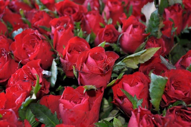 Bouquet des douzaines de belles roses rouges images stock