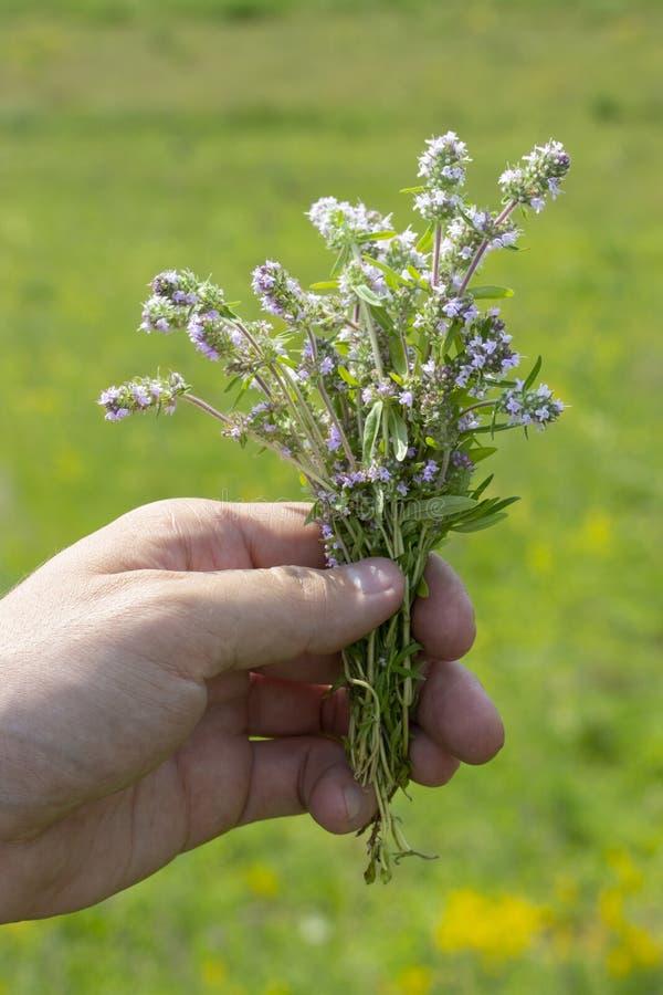 Bouquet des fleurs de thym sauvage dans la main masculine dans le pré Feuilles pourpres lilas de brins de thym de fleurs, herbes  photos libres de droits