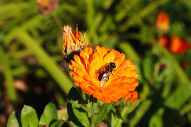 Bouquet des fleurs Les abeilles volent au nectar doux du pollen photo libre de droits