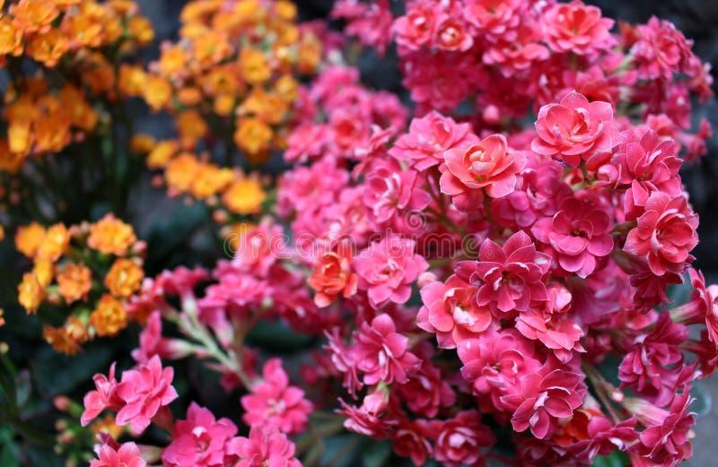 Bouquet des fleurs minuscules de l'usine de kalanchoe photos stock