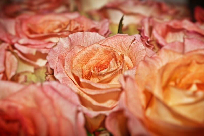Bouquet des roses de corail photo stock