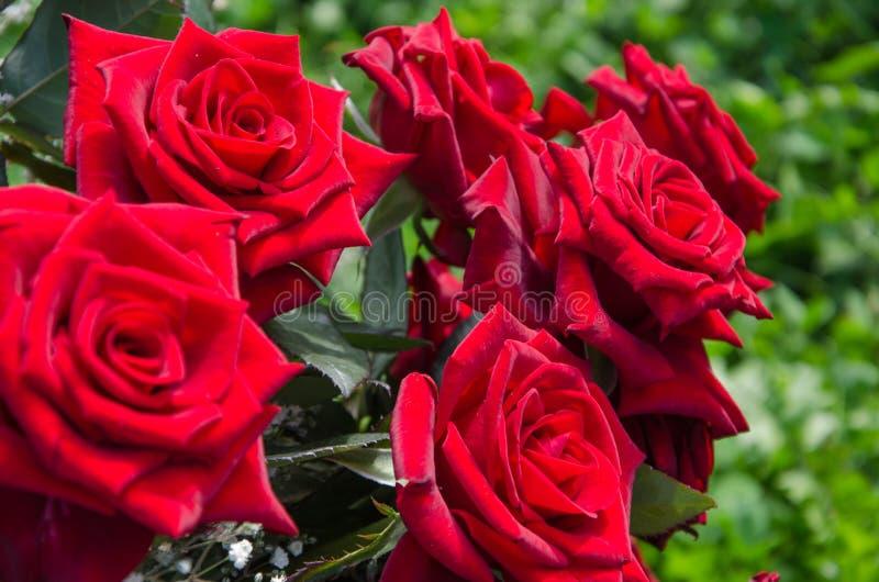 Bouquet des roses rouges sur un fond vert de bokeh photos libres de droits
