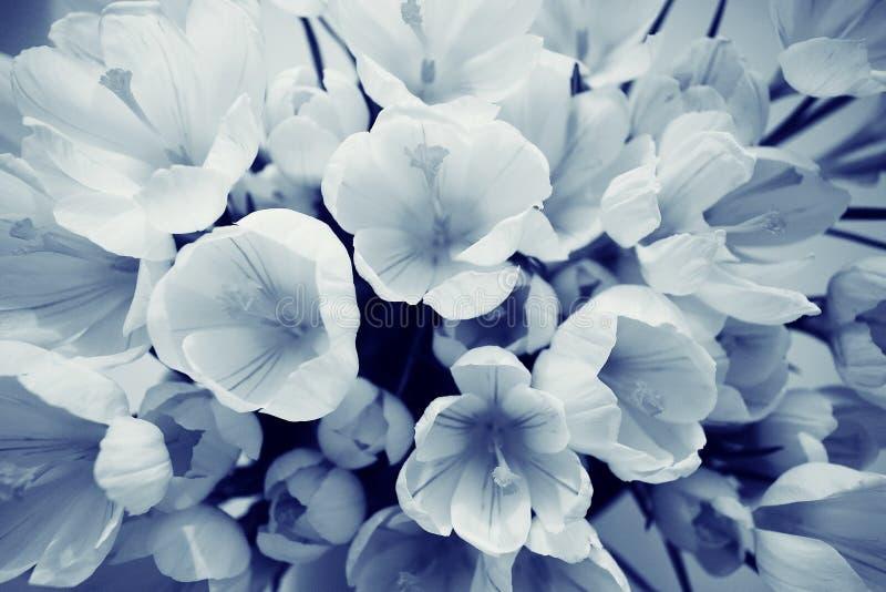 Bouquet du crocus blanc images libres de droits