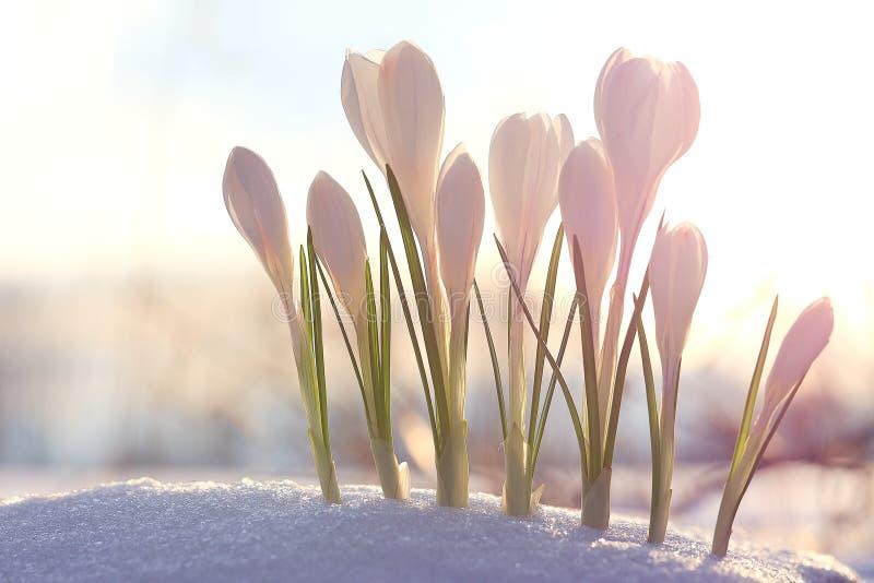 Bouquet du crocus blanc photos libres de droits