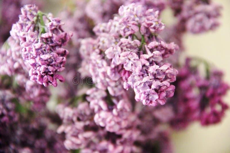 bouquet fané de lilas, plan rapproché La magie des fleurs lilas avec cinq pétales image stock