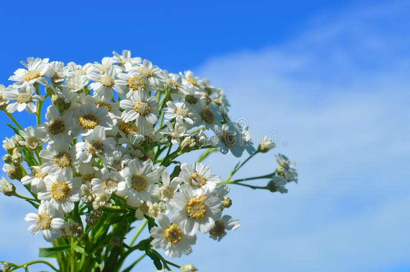 A bouquet white wild camomiles against the background of the blue sky. royalty free stock images