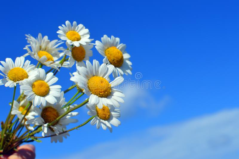 A bouquet white wild camomiles against the background of the blue sky. stock photos