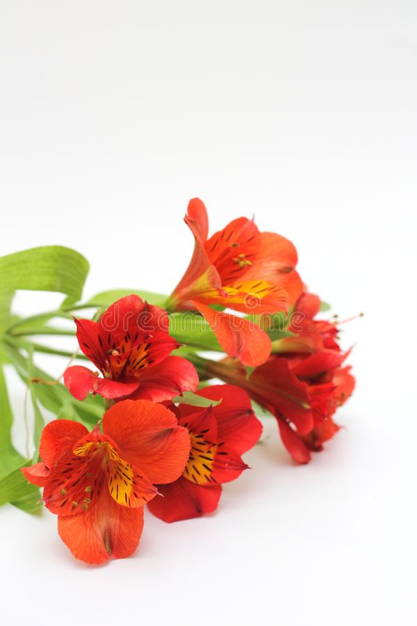 Bouquet of fiery yellow-red flowers isolated on a white background. Plant, daisy, garden, green, floral, design, petal, bunch, leaves, gift, cut, out stock images