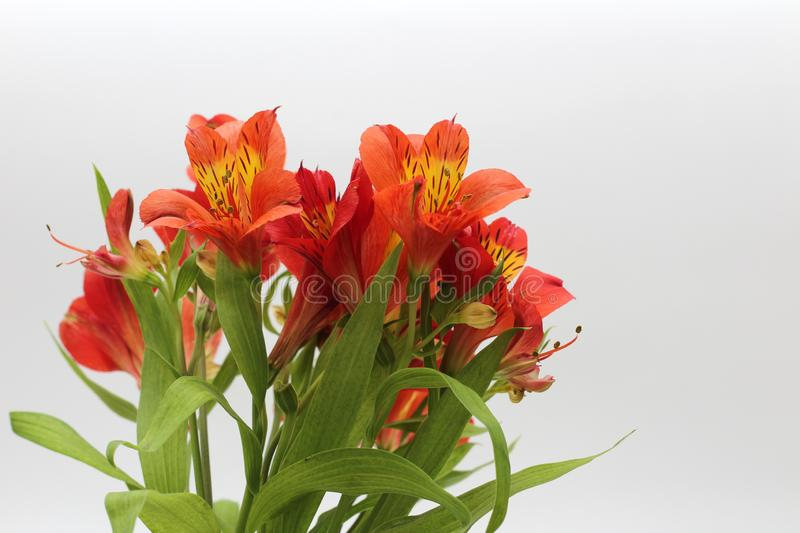 Bouquet of fiery yellow-red flowers isolated on a white background. Garden, green, floral, design, petal, bunch, leaves, gift, cut, out, horizontal, soft stock photos