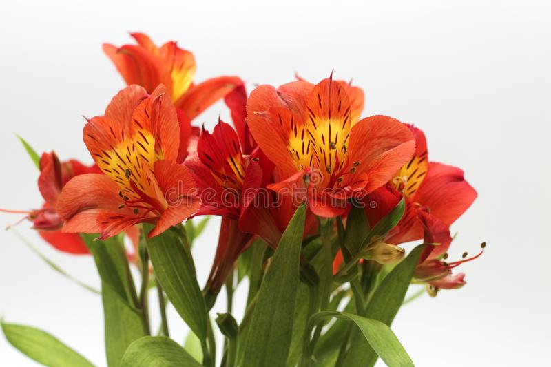 Bouquet of fiery yellow-red flowers isolated on a white background. Plant, daisy, garden, green, floral, design, petal, bunch, leaves, gift, horizontal, soft royalty free stock photo