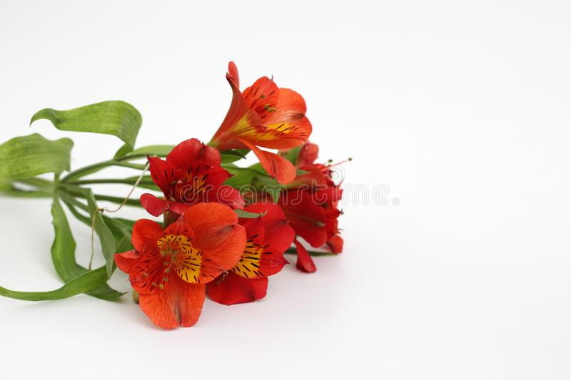 Bouquet of fiery yellow-red flowers isolated on a white background. Daisy, garden, green, floral, design, petal, bunch, leaves, gift, cut, out, horizontal stock photography