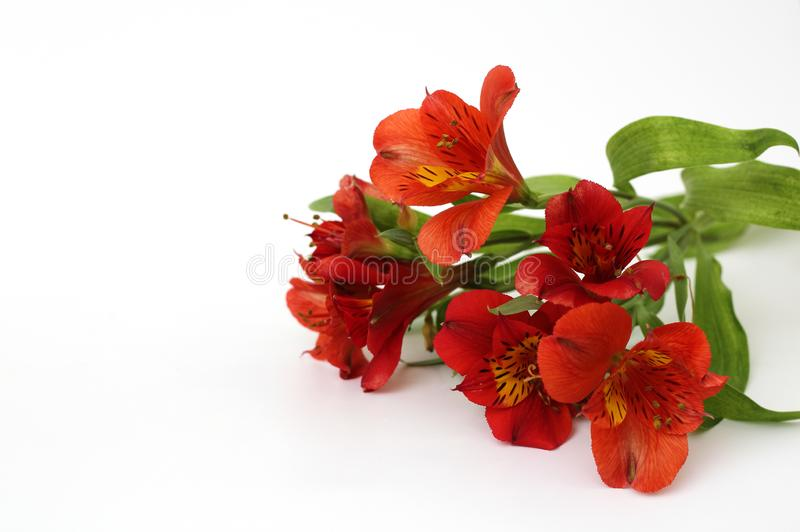Bouquet of fiery yellow-red flowers isolated on a white background. Daisy, garden, green, floral, design, petal, bunch, leaves, gift, cut, out, horizontal royalty free stock images
