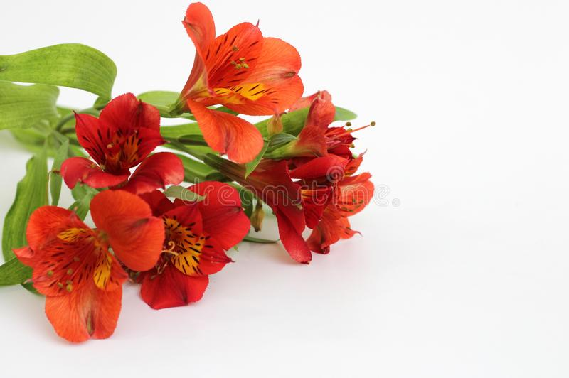 Bouquet of fiery yellow-red flowers isolated on a white background. Garden, green, floral, design, petal, bunch, leaves, gift, cut, out, horizontal, soft royalty free stock images