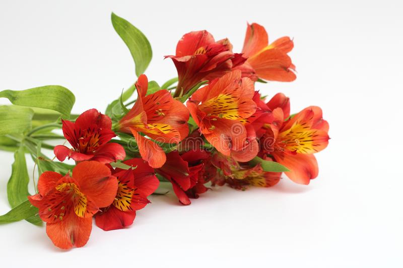 Bouquet of fiery yellow-red flowers isolated on a white background. Plant, daisy, garden, green, design, petal, bunch, leaves, gift, cut, out, horizontal, soft royalty free stock photos