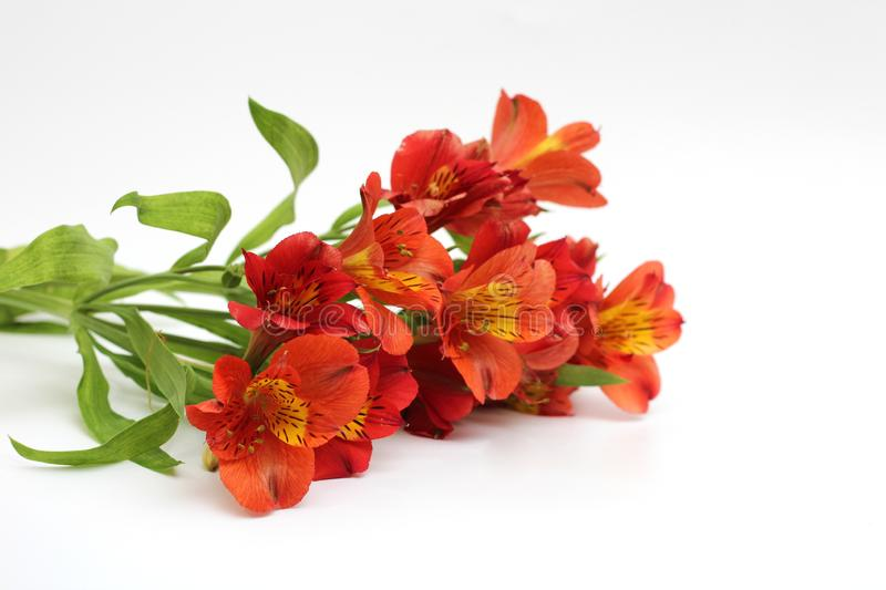 Bouquet of fiery yellow-red flowers isolated on a white background. Plant, daisy, garden, green, floral, design, petal, bunch, leaves, gift, cut, out royalty free stock photos