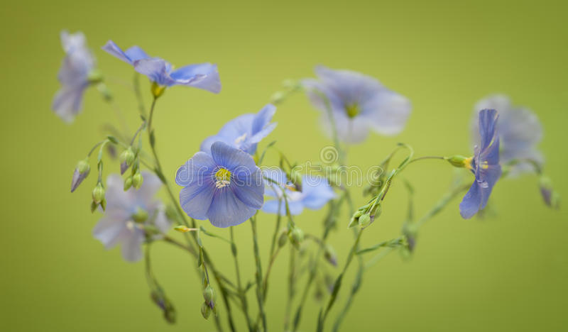 Bouquet of flax flowers stock image. Image of blue, crop - 52166093