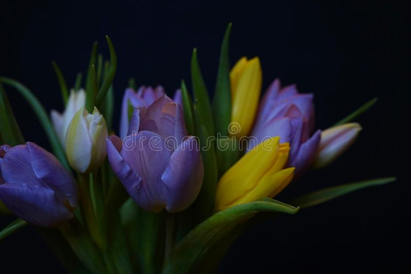 tulips flowers bouquet close-up black background spring multicolors stock images