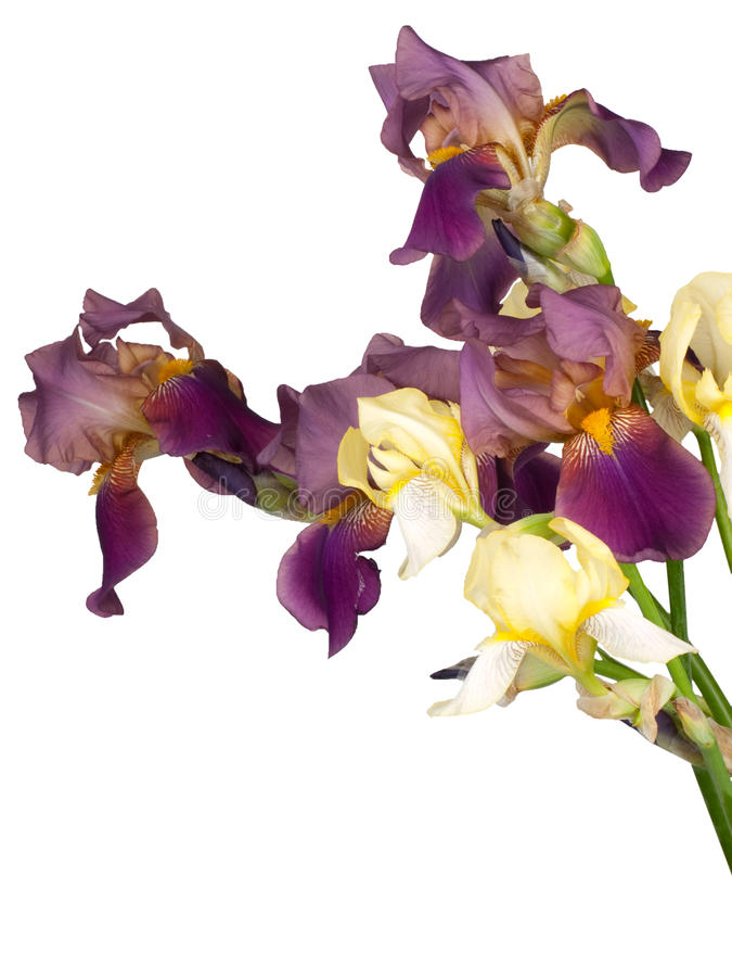 Bouquet From The Flowers Of Iris Royalty Free Stock Photo