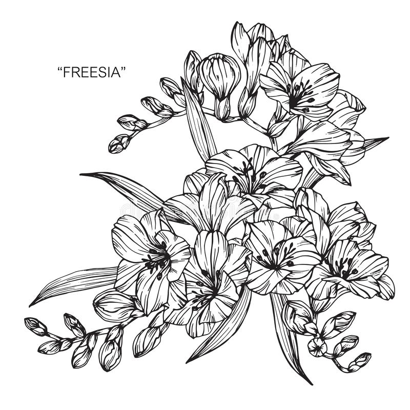 Bouquet Of Freesia Flowers Drawing And Sketch. Stock Illustration ...