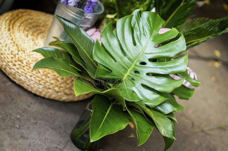 Bouquet of fresh monstera, green tropical leaves in glass vase, diagonal background royalty free stock images