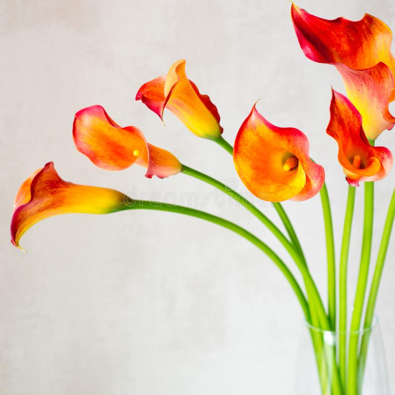 Bouquet of fresh orange Calla lilly flowers in glass vase on a white table. Square. stock photos