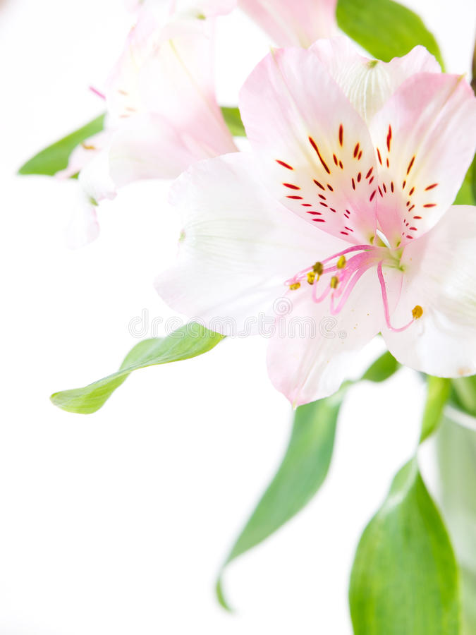 Bouquet of fresh pink lilies isolated on white stock photo
