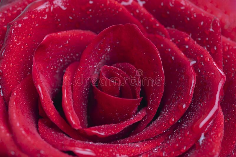 Bouquet of fresh roses, floral background royalty free stock photography
