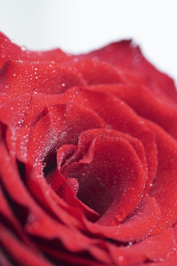 Bouquet of fresh roses, floral background royalty free stock image