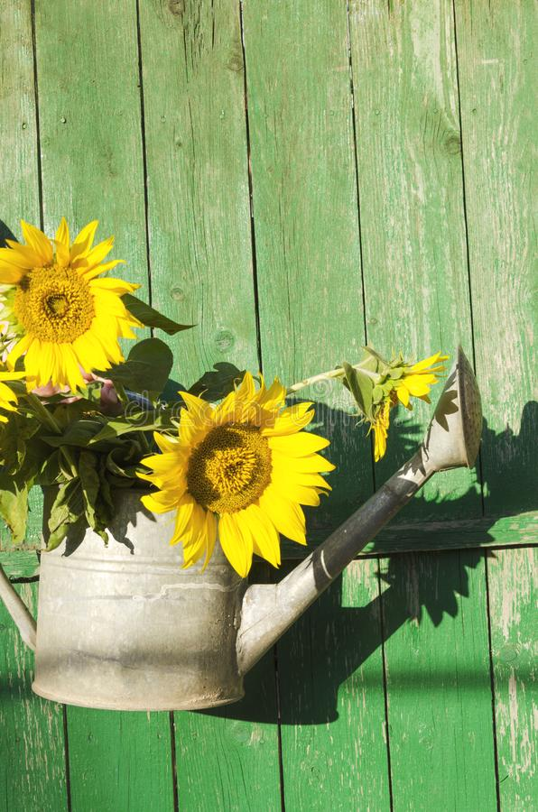 Bouquet of fresh sunflowers in the metal watering can against wooden green background stock photo