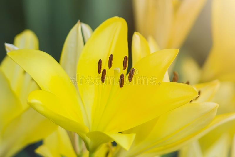 Bouquet of fresh yellow lilies in the garden. stock photos