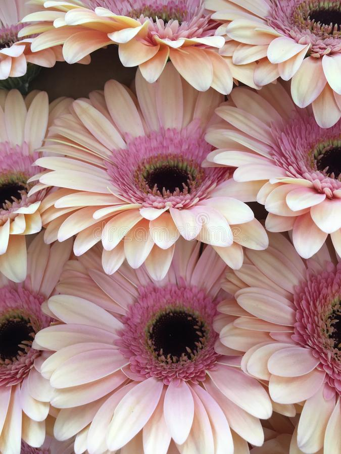 Bouquet gerbere royalty free stock photo