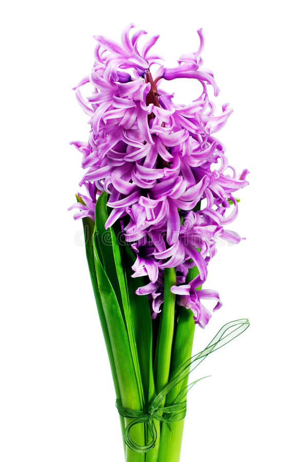 Bouquet from hyacinth isolated on white background. royalty free stock photo