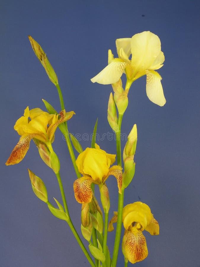Bouquet of iris stock image