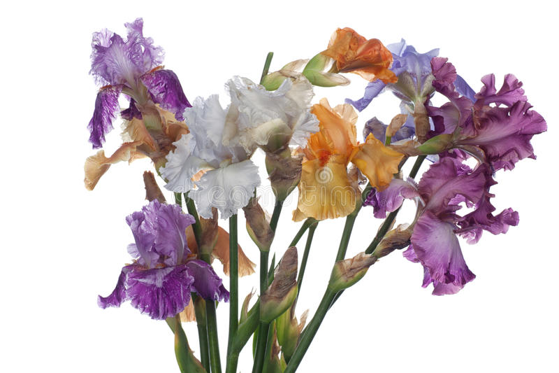 Download Bouquet of  iris flowers stock photo. Image of flower - 25002092