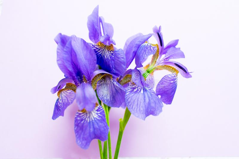 Bouquet of  iris flowers on a gentle purple background. royalty free stock images