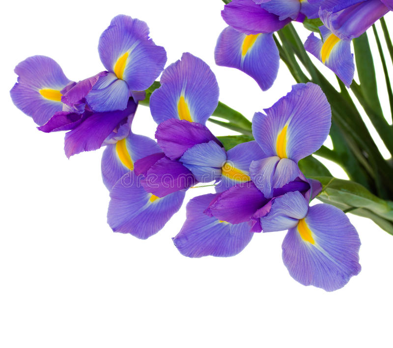 Bouquet of irises. Isolated on white background stock image