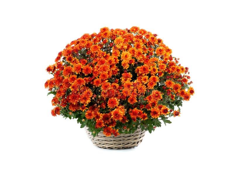 bouquet laranja de crisântemas em branco imagem de stock