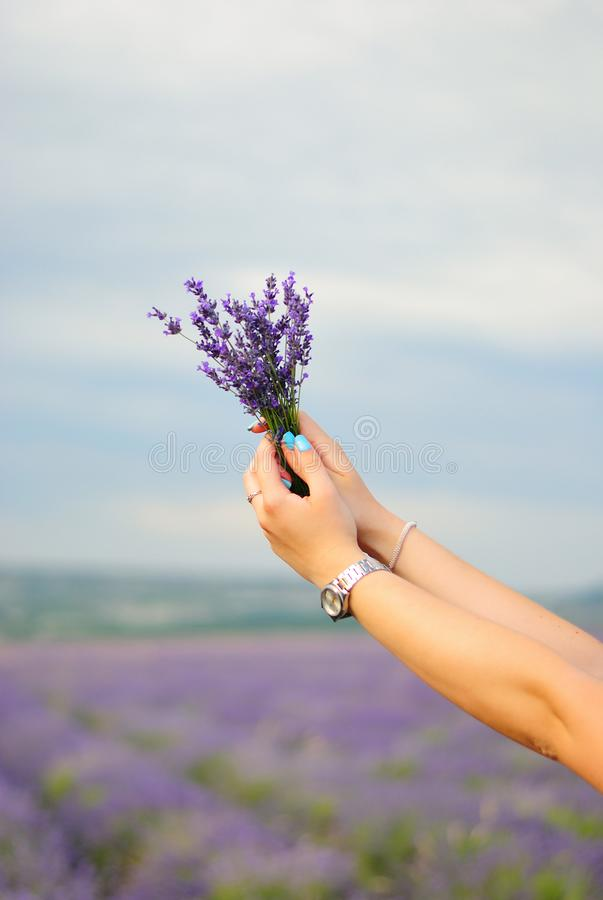 Bouquet of lavender in female hands royalty free stock photo
