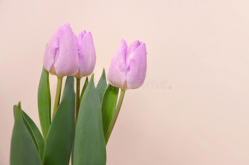 A bouquet of lilac tulips royalty free stock photo