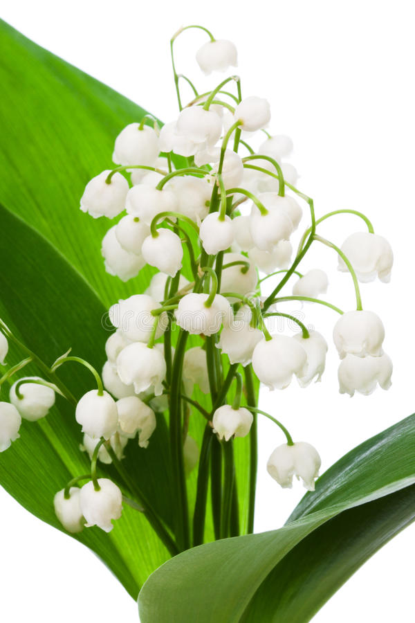 Bouquet of lily of the valley stock photo