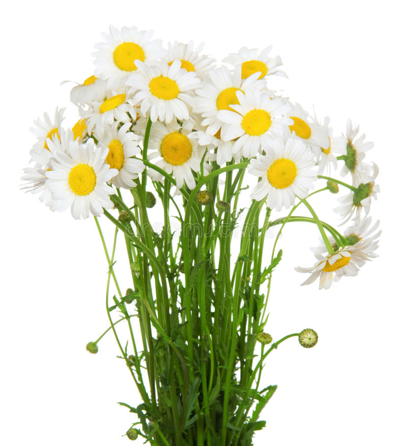 Bouquet of many beautiful camomile flowers stock photos
