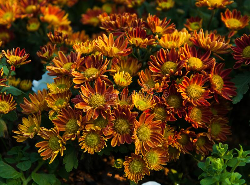 Bouquet of many bright Chrysanthemum stock photography
