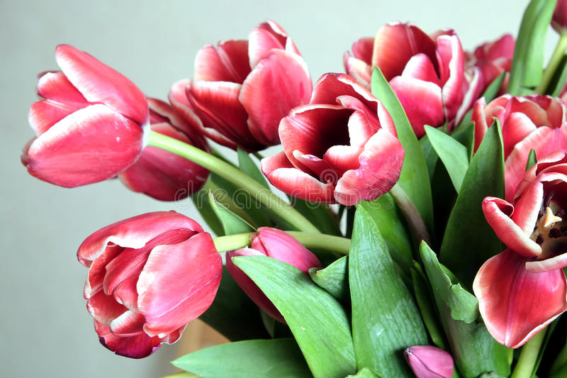 Bouquet of many red tulips on gray background close-up stock image