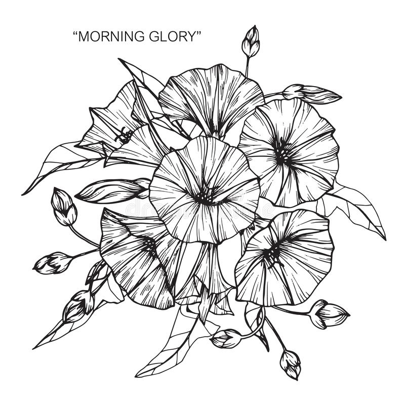 Bouquet Of Morning Glory Flowers Drawing And Sketch. Stock ...