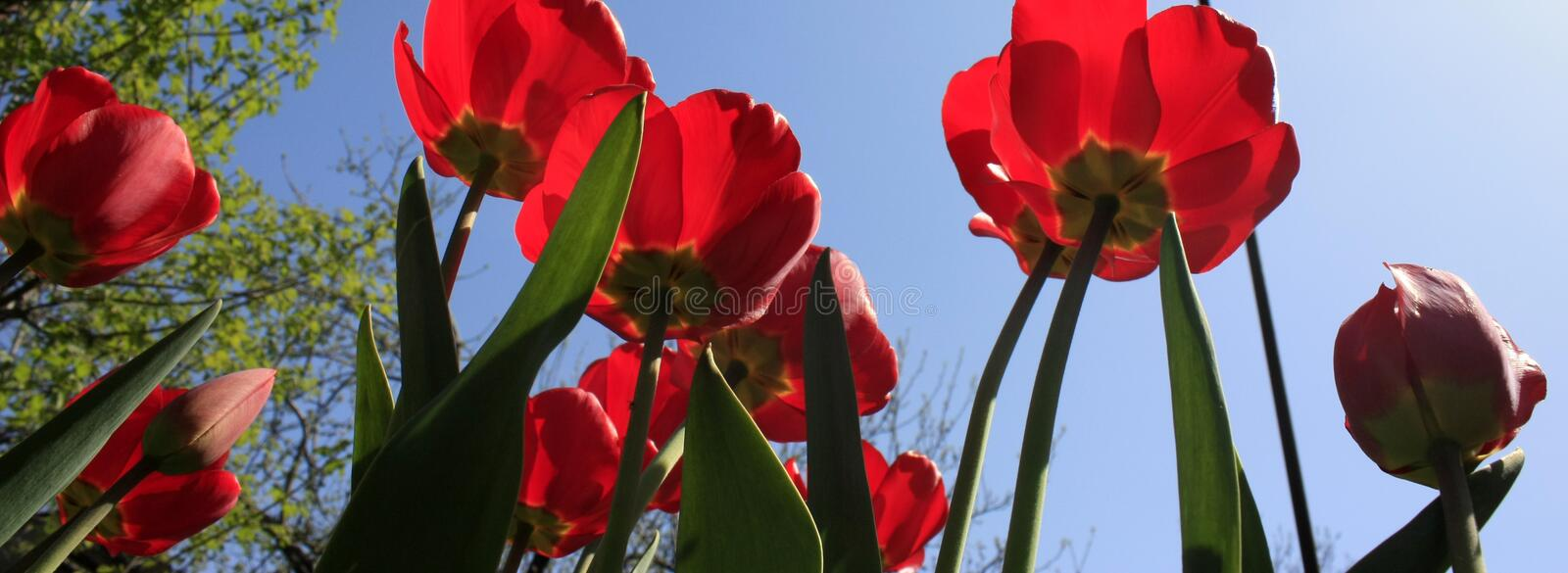 A bouquet of multi-colored tulips against the light close-up against the blue bluish sky. Bouquet of colorful tulips against the light sky flower green nature royalty free stock photo