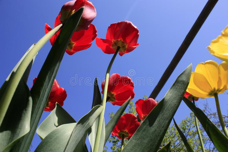 A bouquet of multi-colored tulips against the light close-up against the blue bluish sky. Bouquet of colorful tulips against the light sky flower green nature stock photography