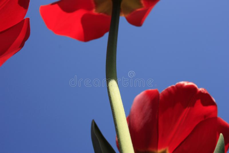 A bouquet of multi-colored tulips against the light close-up against the blue bluish sky. Bouquet of colorful tulips against the light sky flower green nature royalty free stock photography