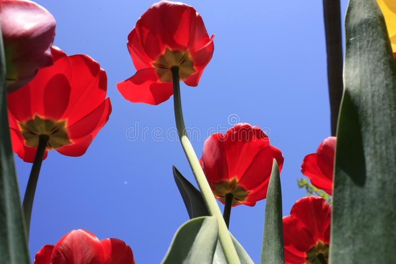 A bouquet of multi-colored tulips against the light close-up against the blue bluish sky. Bouquet of colorful tulips against the light sky flower green nature stock photo